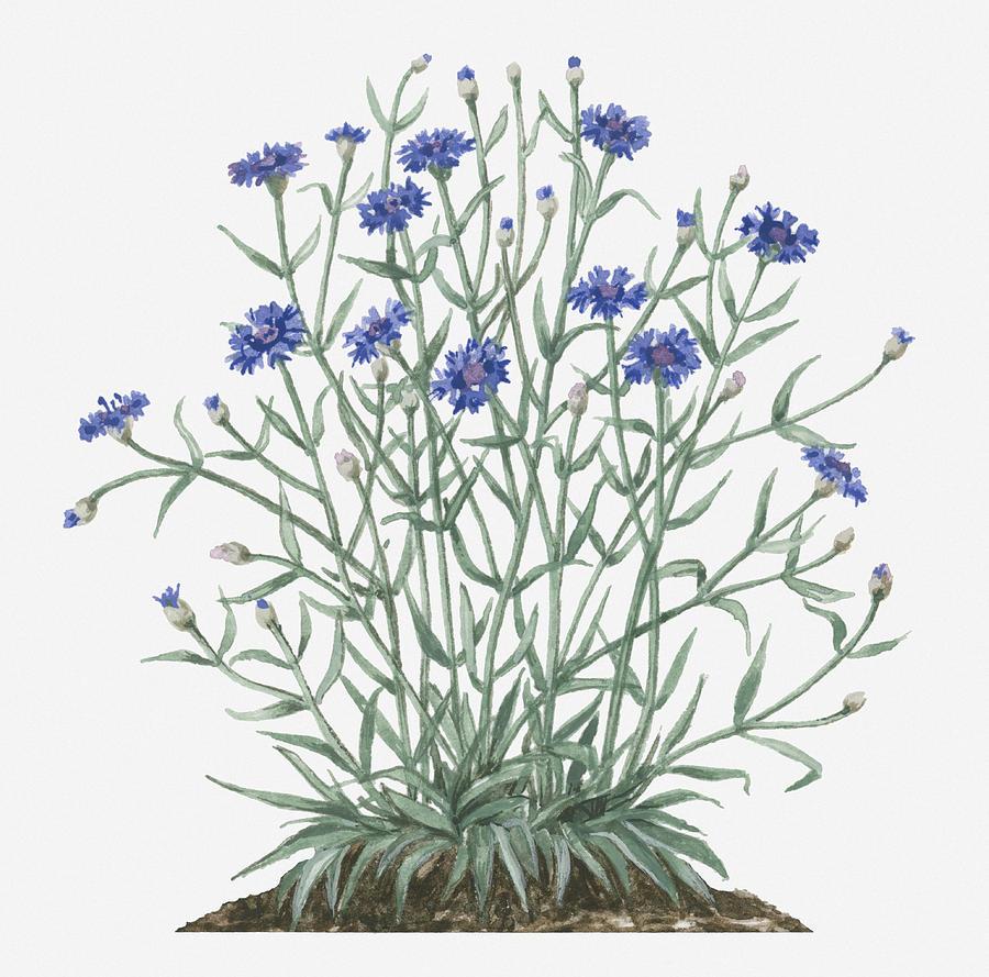 Illustration Of Centaurea Cyanus Cornflower Bearing Blue Flowers