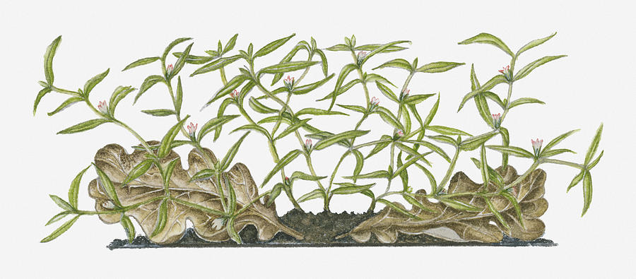 Illustration Of Hedyotis Diffusa (spreading Hedyotis) Bearing Tiny White Flowers And Green Leaves On Spreading Stems Growing Close To Ground Near Decaying Brown Leaves Digital Art by Ruth Hall