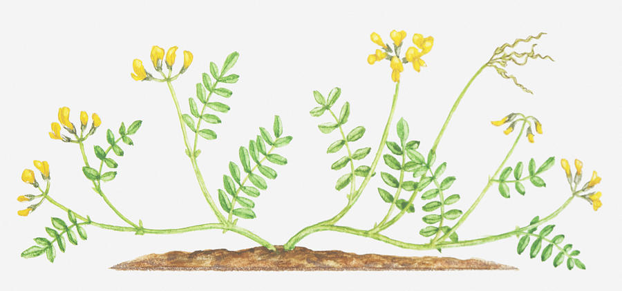 Illustration of hippocrepis comosa horseshoe vetch yellow flowers horizontal digital art illustration of hippocrepis comosa horseshoe vetch yellow flowers by mightylinksfo