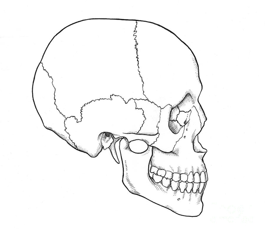 Anatomy Photograph - Illustration Of Human Skull by Science Source