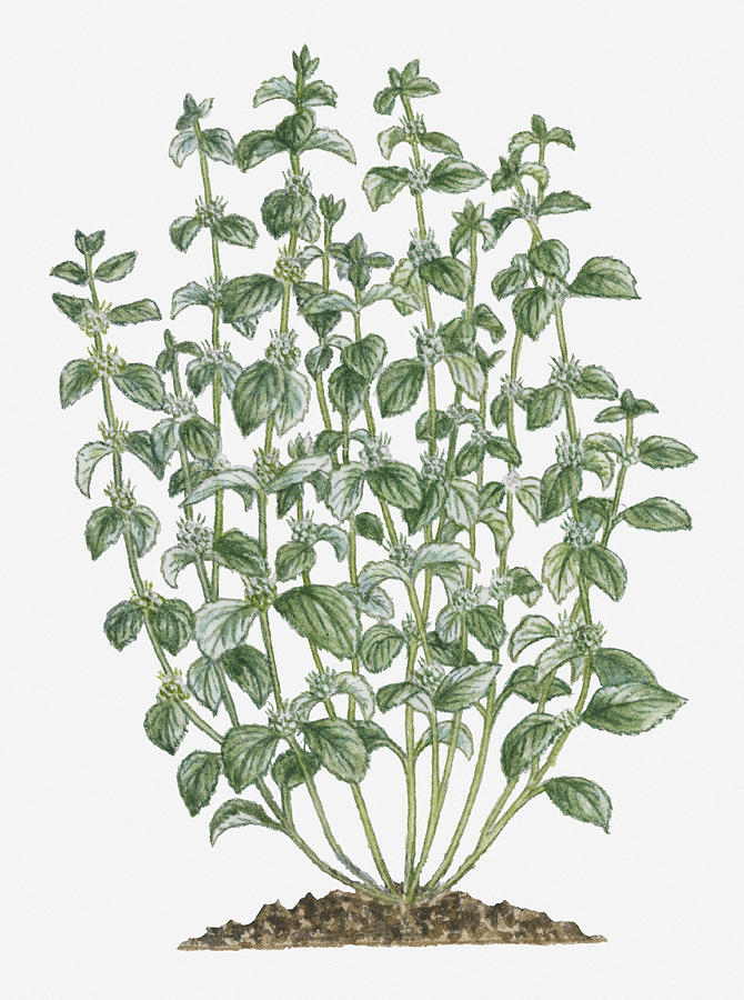 Illustration Of Marrubium Vulgare (white Horehound) Bearing Clusters Of White Flowers And Grey-green Leaves On Tall Stems Digital Art by Debra Woodward