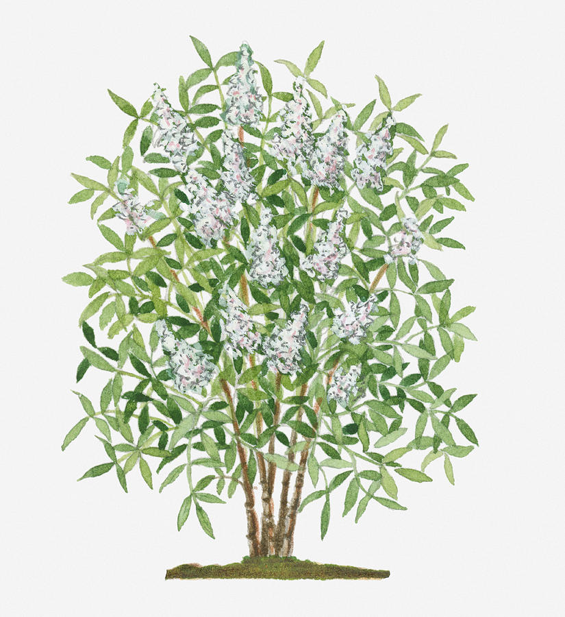 Illustration Of Nandina Domestica (sacred Bamboo) Evergreen Shrub With Conical Clusters Of White Flowers Digital Art by Catherine Slade