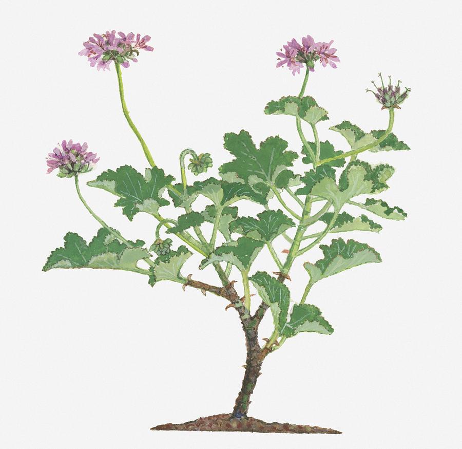 Illustration Of Pelargonium Capitatum Rose Scented Pelargonium