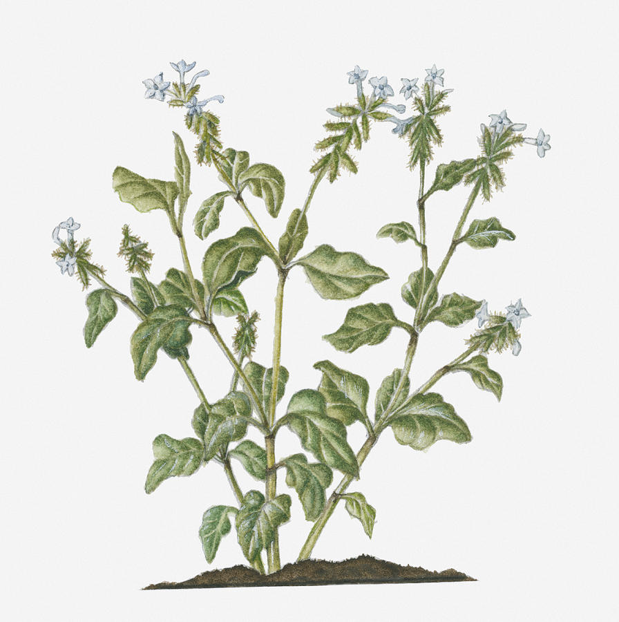 Illustration Of Plumbago Zeylanica Ceylon Leadwort Evergreen Shrub
