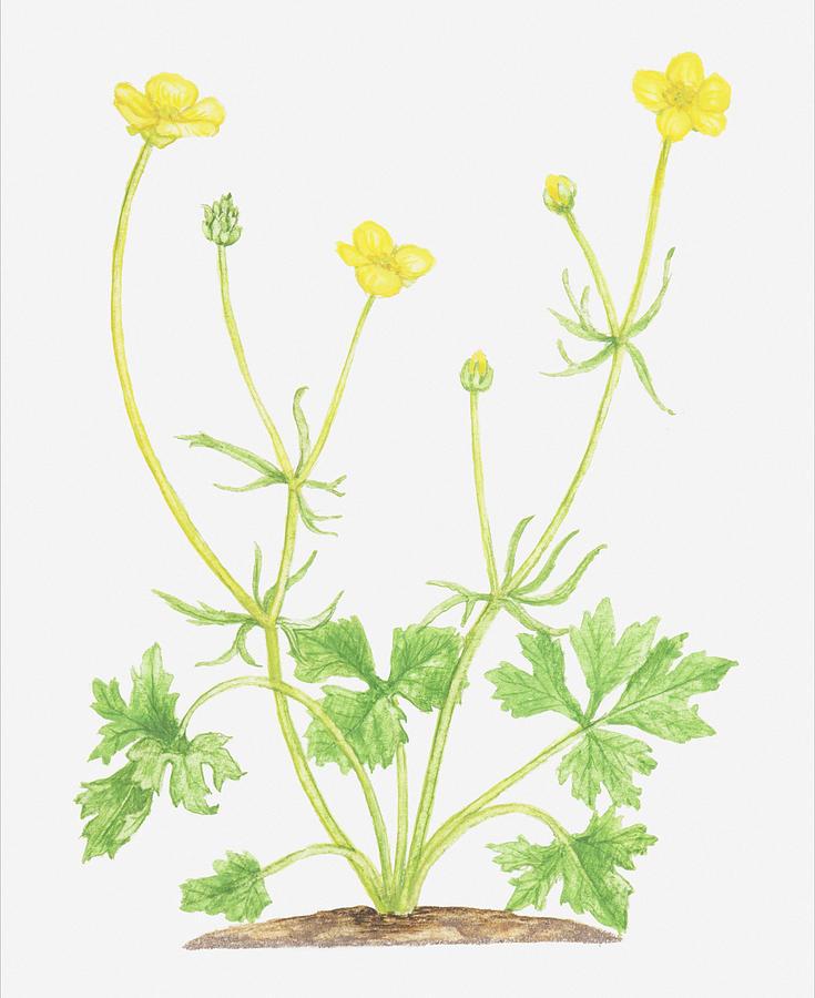 Illustration of ranunculus auricomus goldilocks yellow flowers vertical digital art illustration of ranunculus auricomus goldilocks yellow flowers by tricia mightylinksfo