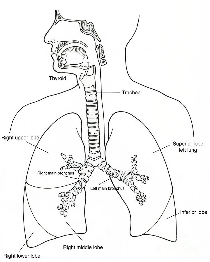 parts of the lungs diagram