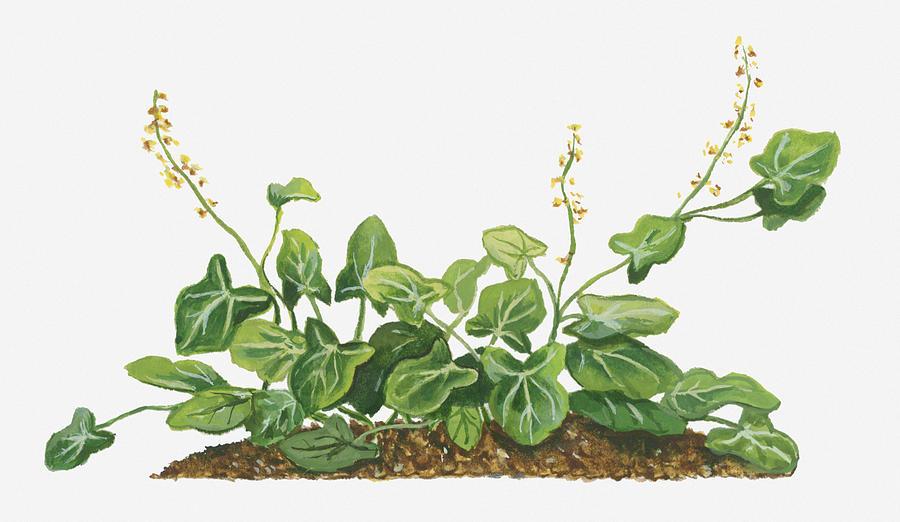 Illustration of rumex scutatus french sorrel bearing small yellow horizontal digital art illustration of rumex scutatus french sorrel bearing small yellow flowers mightylinksfo
