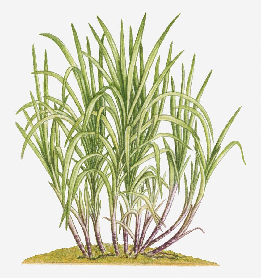 Illustration Of Saccharum Officinarum (sugarcane) Bearing Multiple Stems From Lateral Shoots At Base Digital Art by Dorling Kindersley