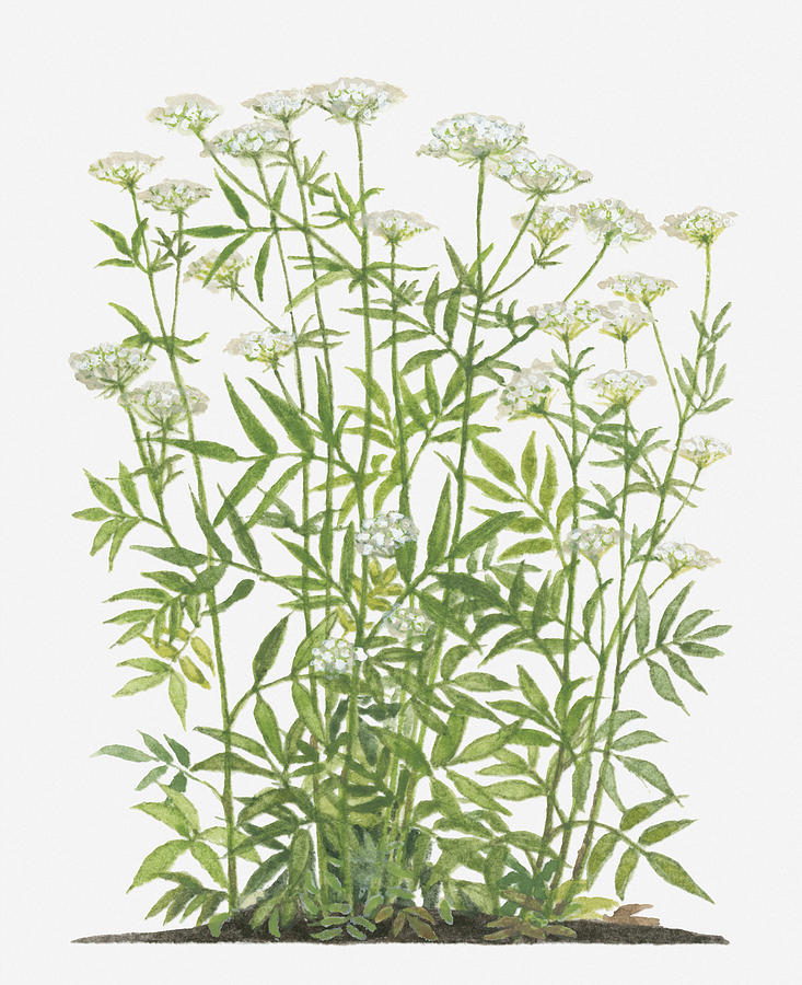Illustration Of Sium Sisarum (skirret, Crummock) Bearing Clusters Of Tiny White Flowers Of Long Stems Digital Art by Barbara Walker