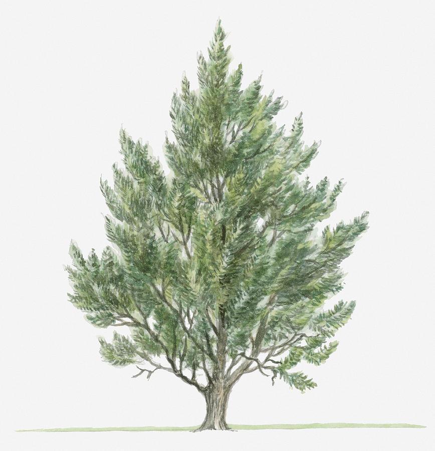 Illustration of small evergreen juniperus phoenicea for Small slender trees