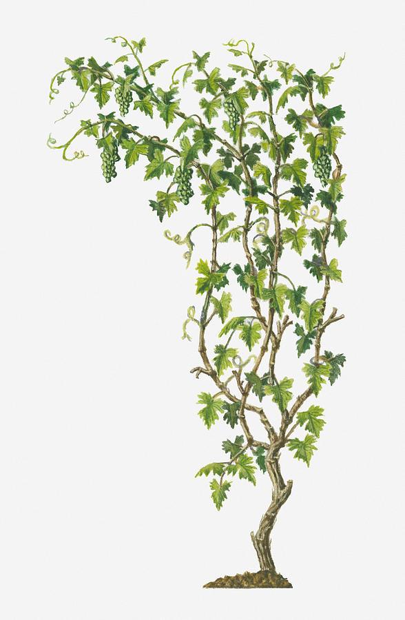 Vertical Digital Art - Illustration Of Vitis Vinifera (common Grape Vine) Bearing Bunches Of Ripe Green Fruit by Dorling Kindersley