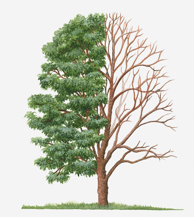 Illustration Showing Shape Of Deciduous Acer Griseum (paperbark Maple) Tree With Green Summer Foliage And Bare Red/orange Winter Branches Digital Art by Michelle Ross