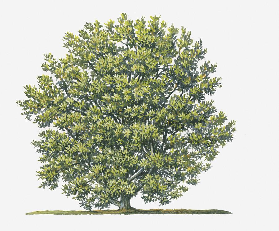 Illustration Showing Shape Of Myrica Cerifera (wax Myrtle) Shrub Bearing Abundance Of Small Green Leaves Digital Art by Sue Oldfield