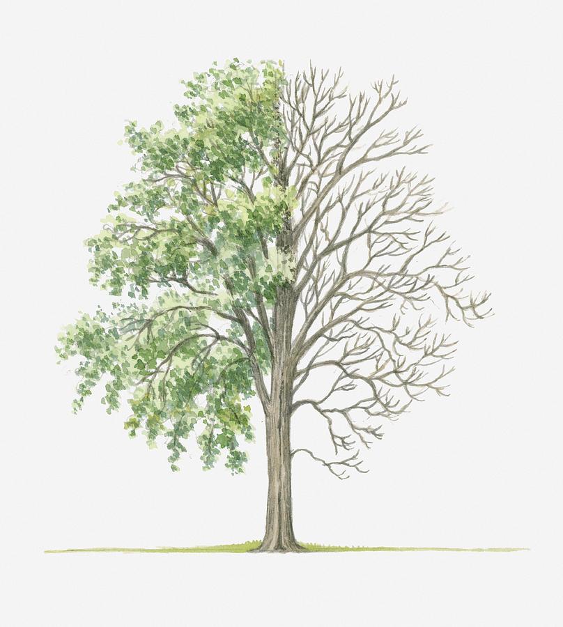 Illustration Showing Shape Of Populus Deltoides (cottonwood) Tree ...