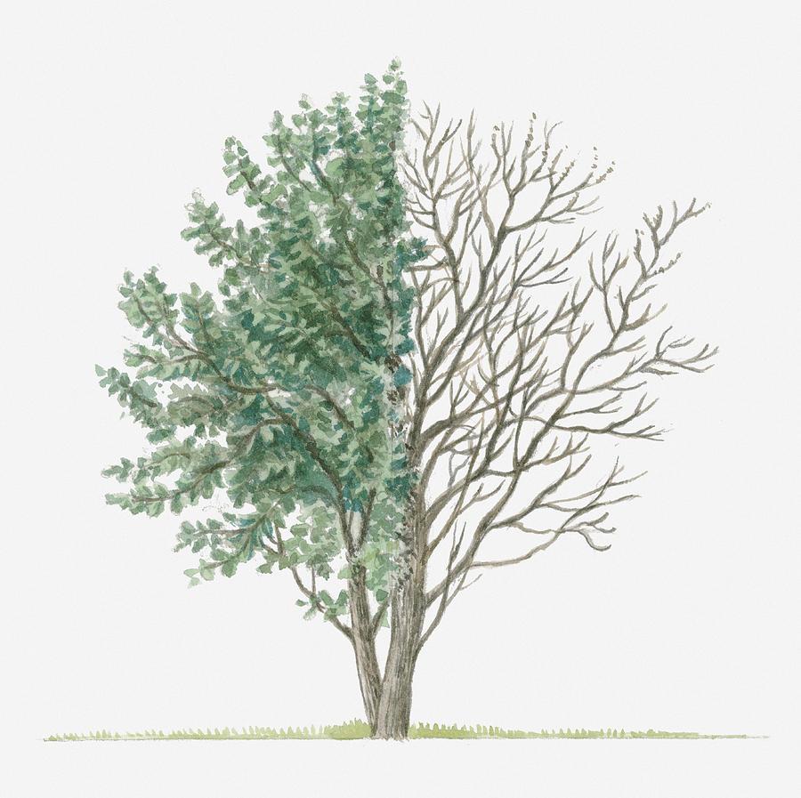 Illustration Showing Shape Of Salix Caprea Goat Willow