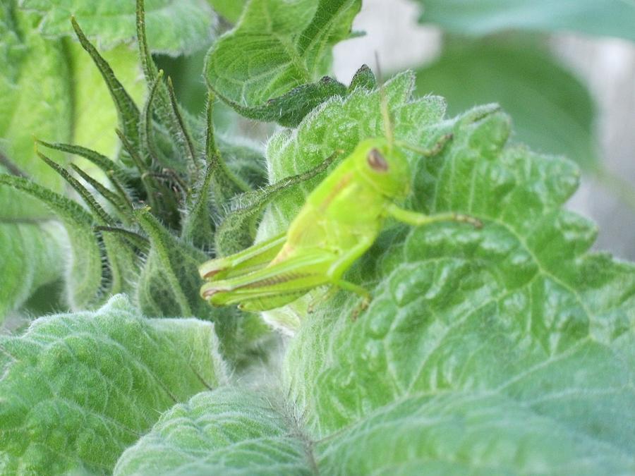 Grasshopper Photograph - Im A Im A Im A Chameleon by Tracy Fallstrom