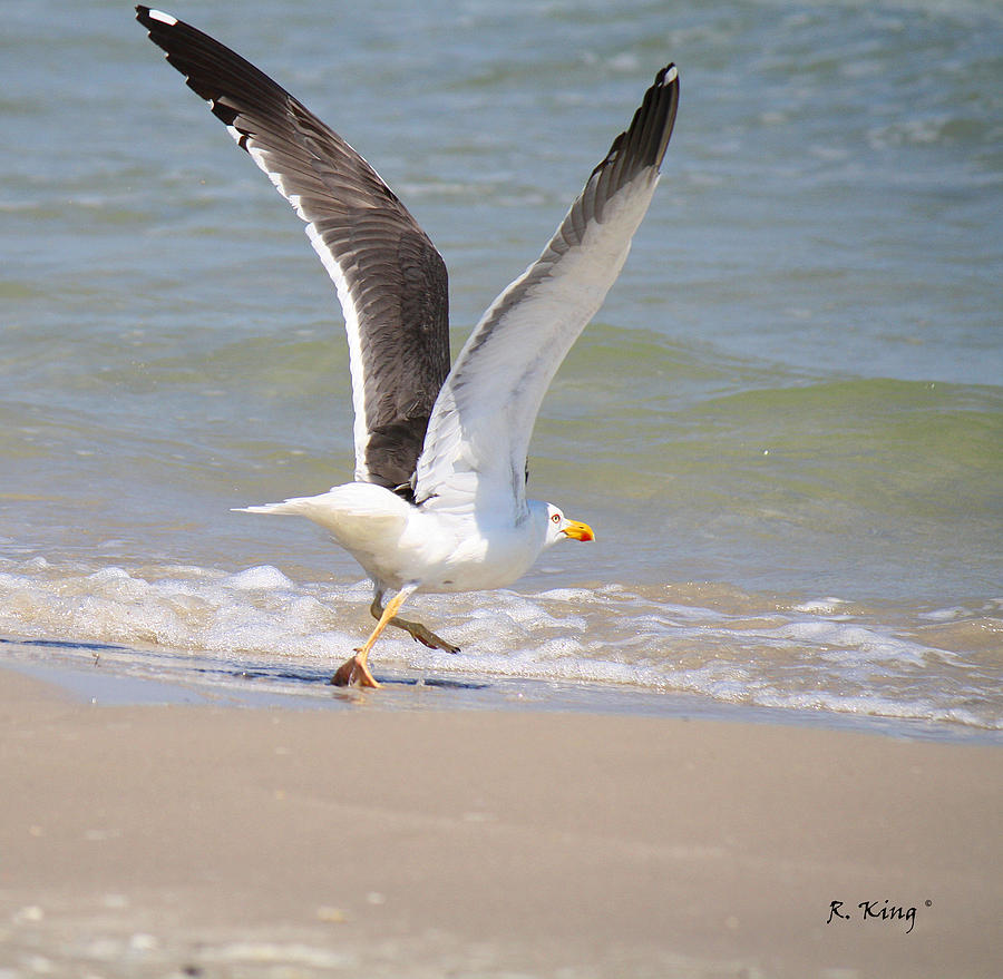Lesser Black-backed Gull Photograph - Im Out Of Here - Lesser Black-backed Gull by Roena King