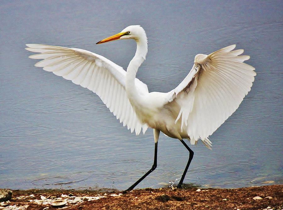 Great White Egret Photograph - Im Pretty by Paulette Thomas