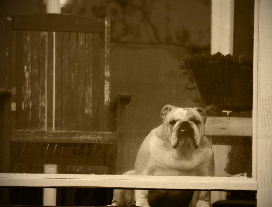 English Bulldog Photograph - Im Waiting For You by Kym Backland