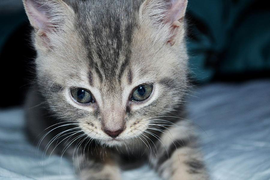 Cat Photograph - Im Watching You  by Courtney Dyer