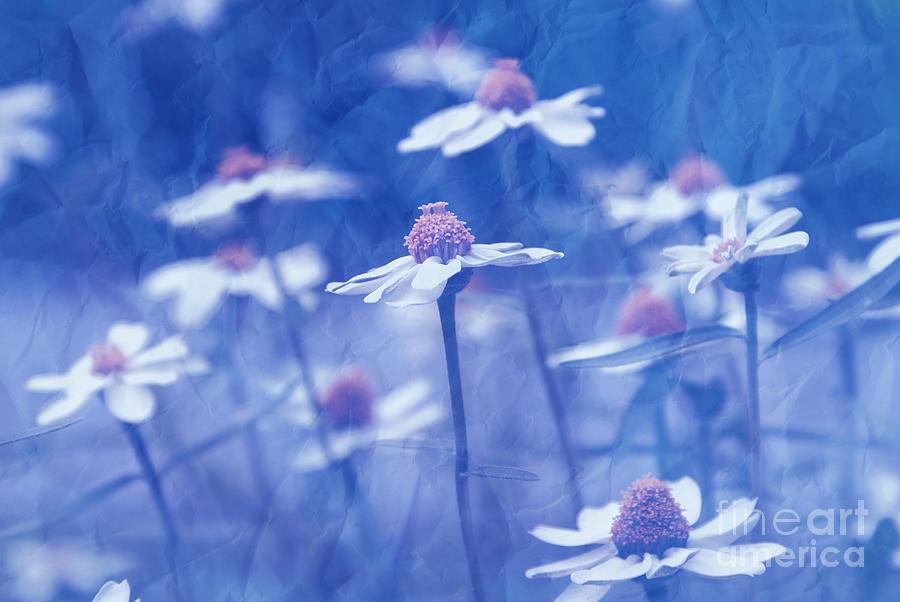 Daisies Photograph - Imagine 06ht01 by Variance Collections