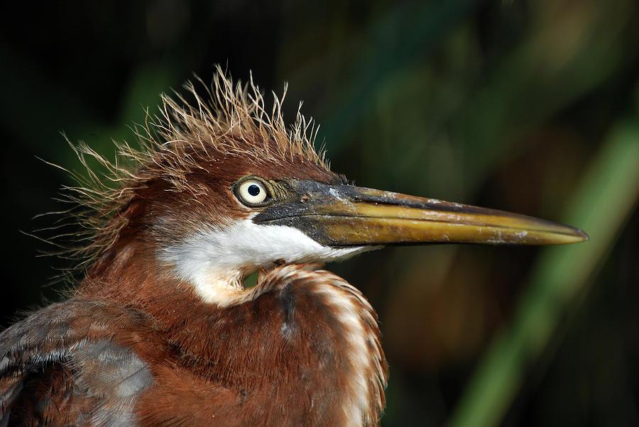 Louisiana Heron Photograph - Immature Louisiana Hair Day by Skip Willits