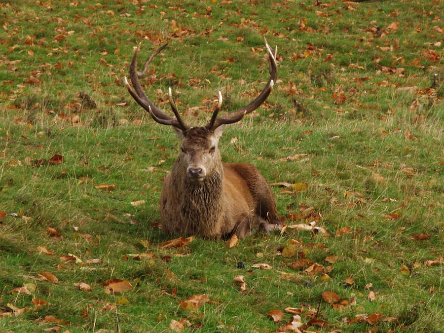 Red Deer Photograph - In A Bit Of A Rut by Steve Watson