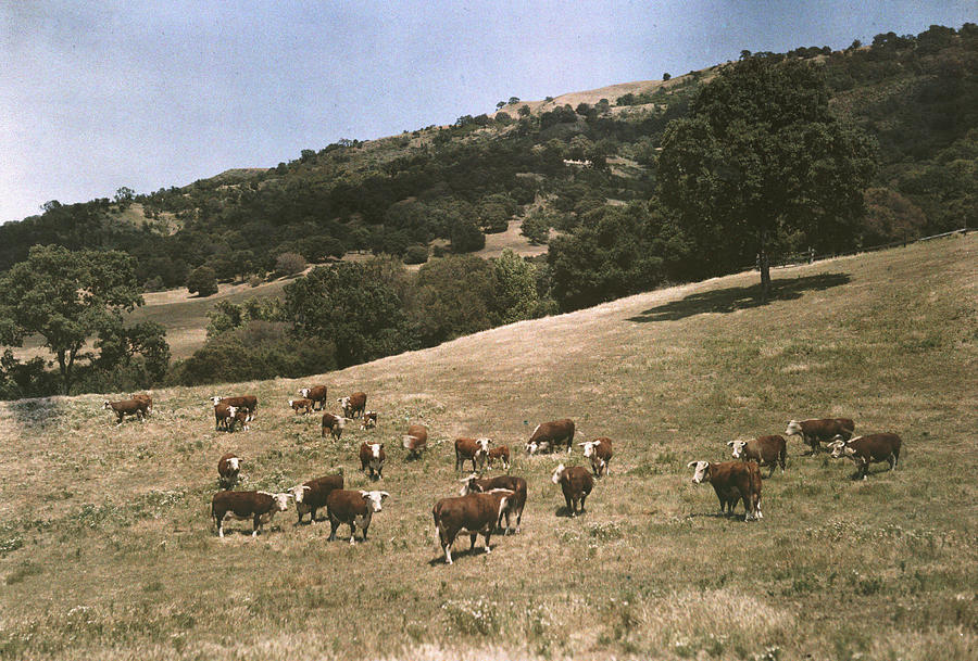 Day Photograph - In A Pasture Near Pleasanton Hereford by Charles Martin