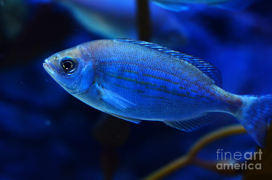 Fish Digital Art - In Blue Waters by Pravine Chester