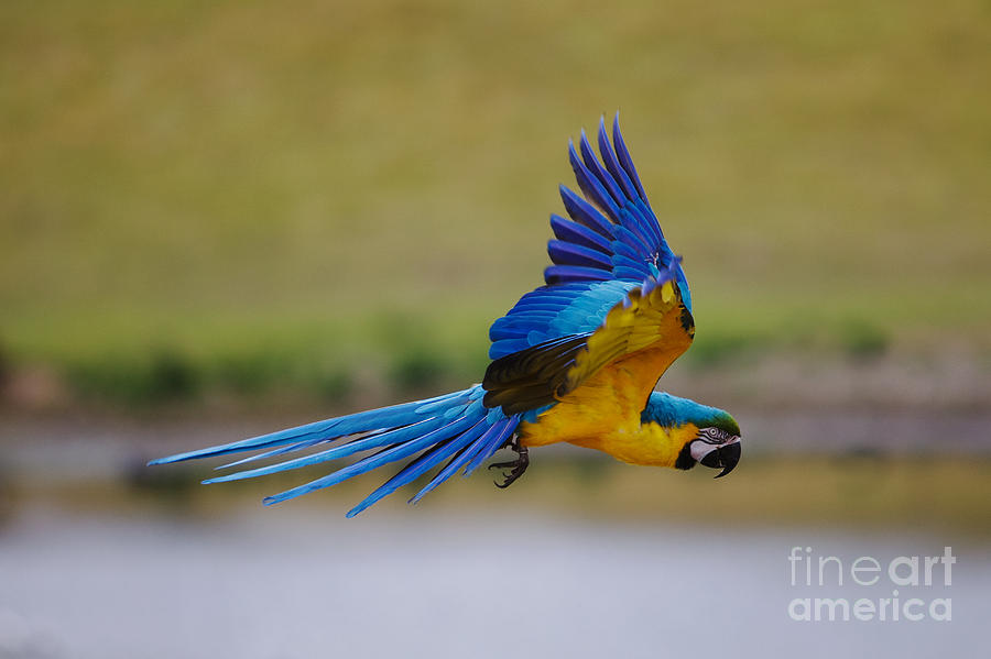 Golden Photograph - In Flight by Pete Reynolds