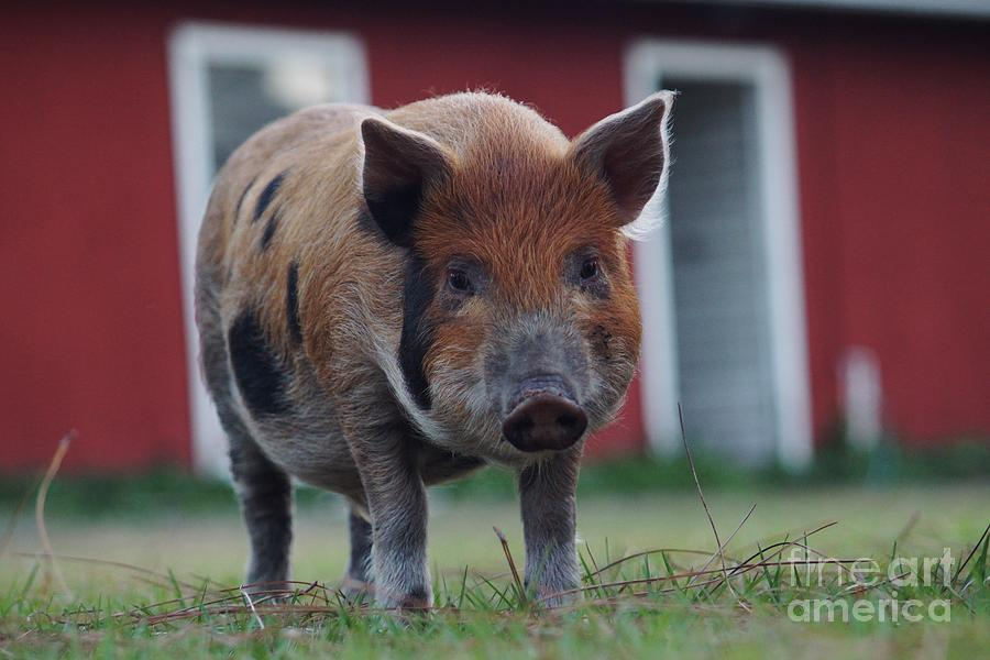 Pig Photograph - In Front Of The Red Barn by Lynda Dawson-Youngclaus