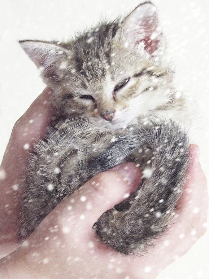 Kitten Photograph - In Safe Hands II by Amy Tyler