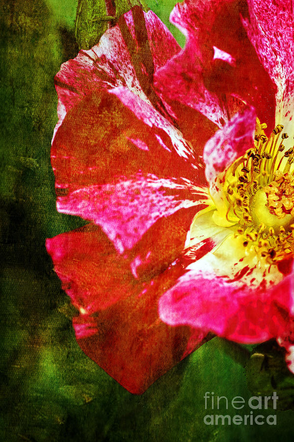 Rose Photograph - In The Blink Of An Eye by Catherine Fenner