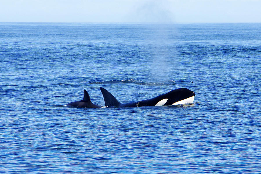 Orca Whales Photograph - In The Great Wide Ocean by Marilyn Wilson