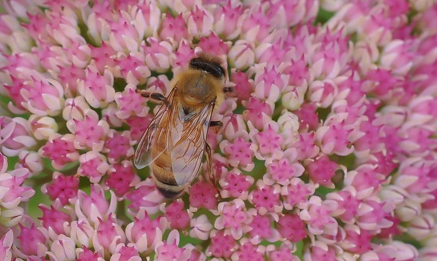 Bees Photograph - In The Pink by Ronda Broatch