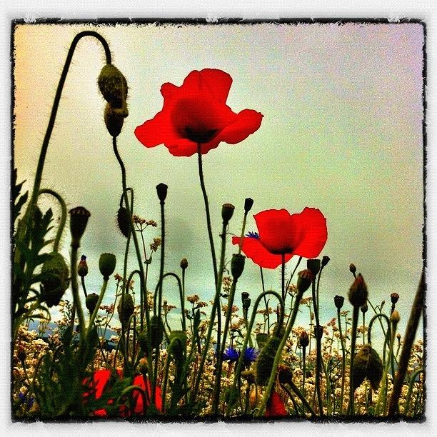 Nature Photograph - In The Poppyfields Again by Urs Steiner