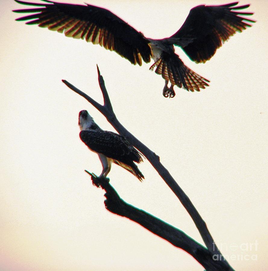 Osprey Photograph - Incoming by Beth Phifer
