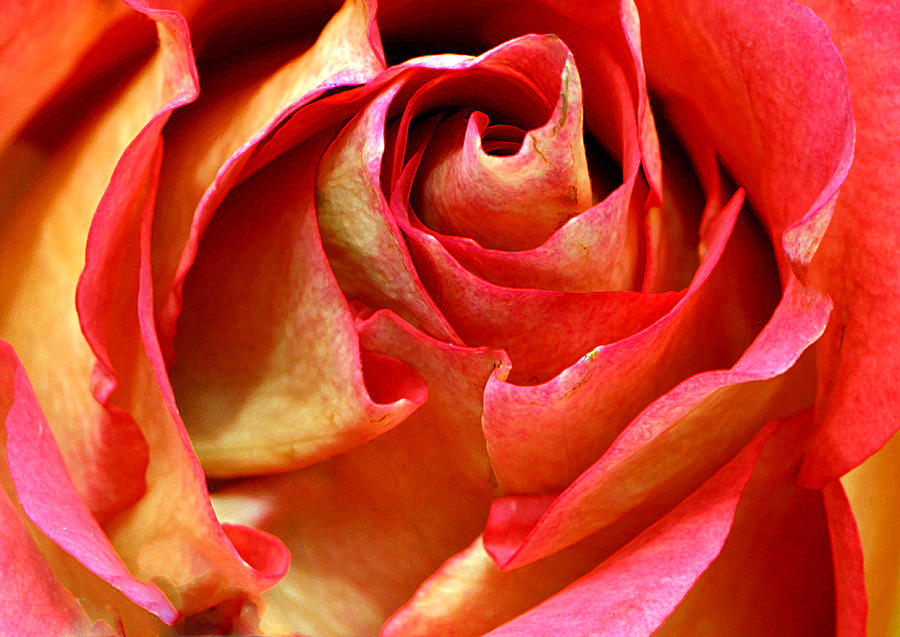 Rose Photograph - Independent Bella...... by Tanya Tanski