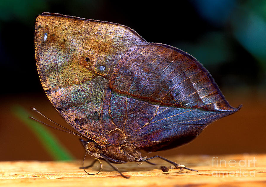 Indian Leaf Butterfly 1 Photograph By Terry Elniski