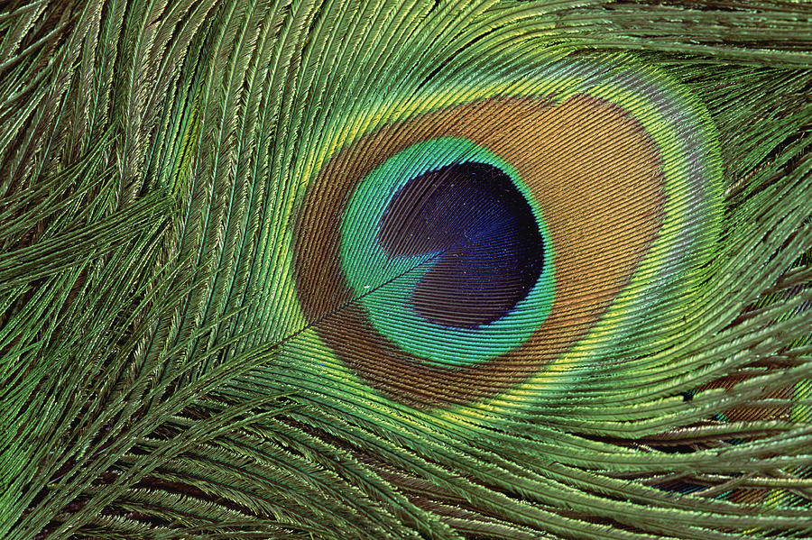 Mp Photograph - Indian Peafowl Pavo Cristatus Display by Gerry Ellis