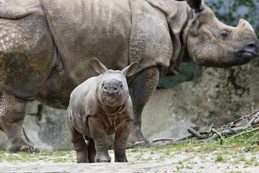 Mp Photograph - Indian Rhinoceros Rhinoceros Unicornis by Konrad Wothe