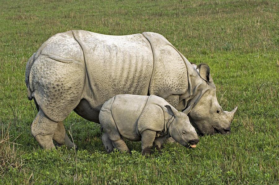 Rhinoceros Unicornis Photograph - Indian Rhinoceroses by Tony Camacho