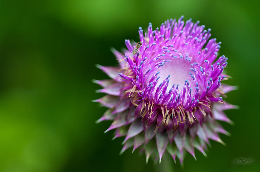 Purple Thistle Flower Photograph - Indiana Purple Thistle Flower by Melissa Wyatt