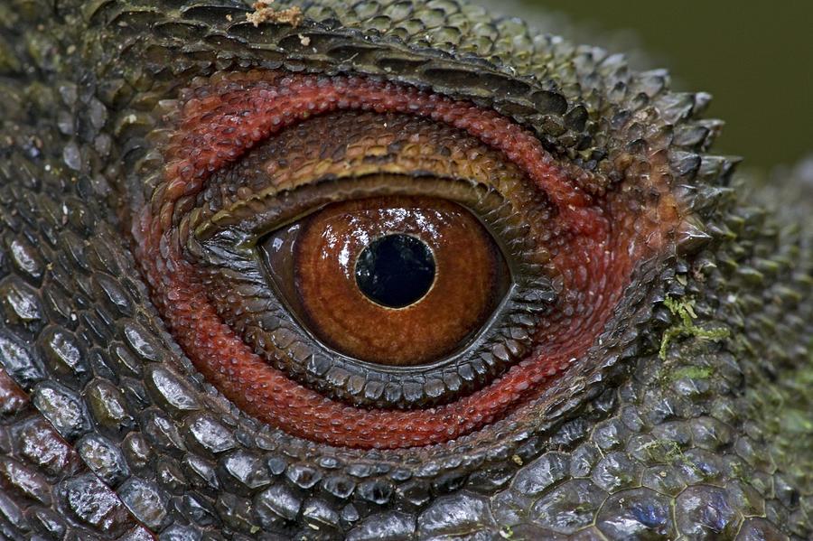 Indonesian Forest Dragon Eye Papua New Photograph by Piotr Naskrecki