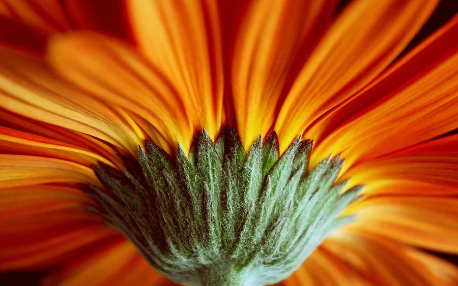 Gerber Daisy Photograph - Inferno by Melanie Moraga