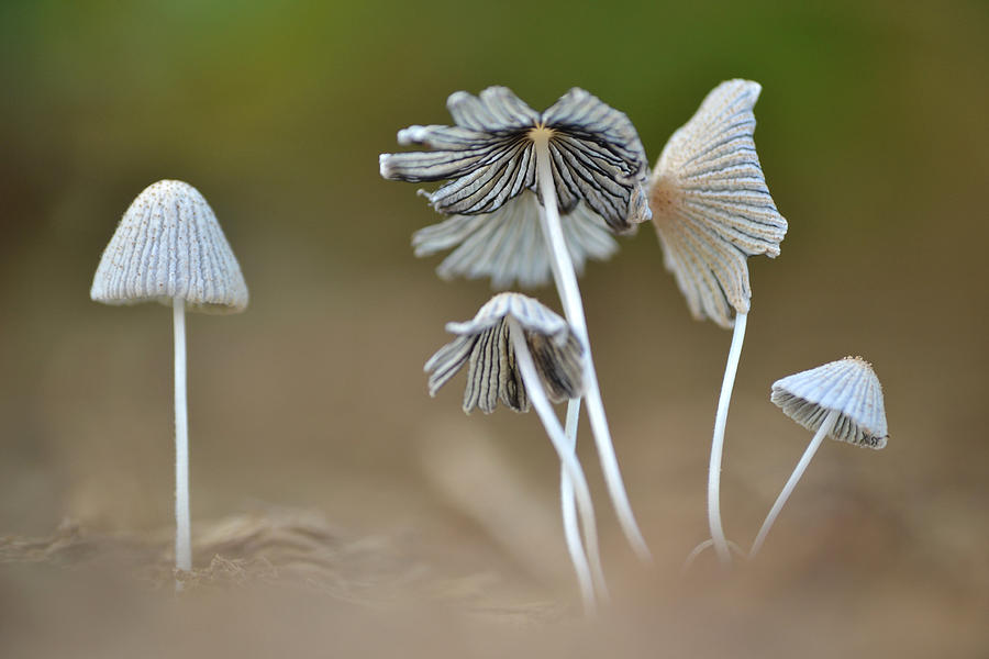 Ink Cap Mushrooms Photograph By Jd Grimes