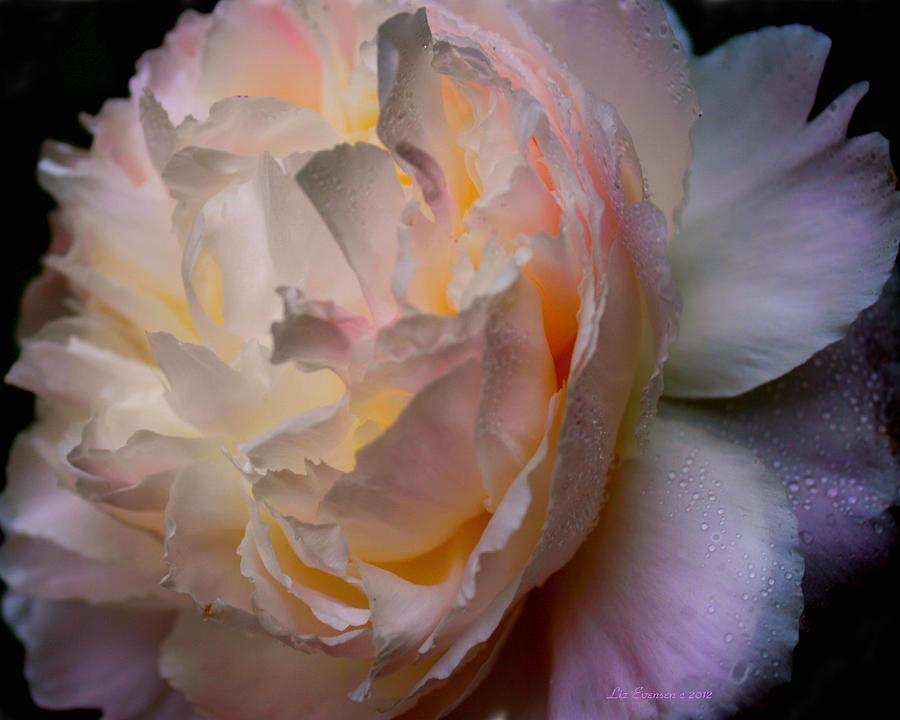 Peonie Photograph - Inner Beauty by Liz Evensen