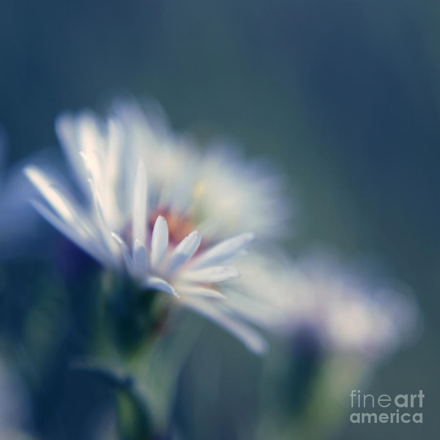 Daisy Photograph - Innocence 03b by Variance Collections