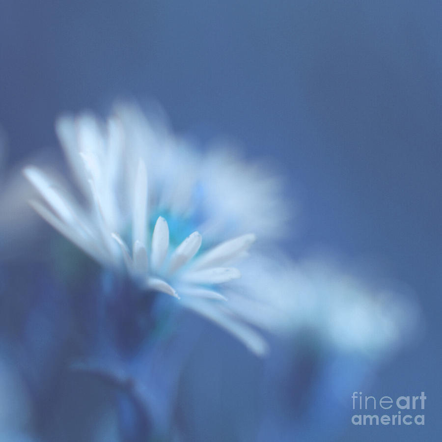 Daisy Photograph - Innocence 11 by Variance Collections