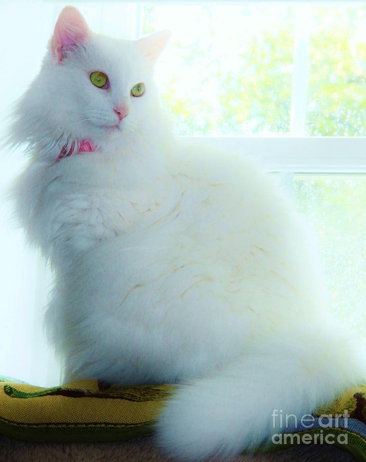 White Cat Photograph - Innocence 2 by Judy Via-Wolff